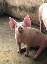 Biłgoraj: 23-latek potrącił świnię...w worku. Na miejscu pojawiła się policja
