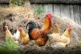 Ptasia grypa w Zielonej Górze! Chore zwierzęta odkryto w jednym z gospodarstw