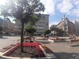Usuną drzewa z rynku w Katowicach. Surmie chorują i wyglądają coraz gorzej. Zastąpią je wiśnie i klony