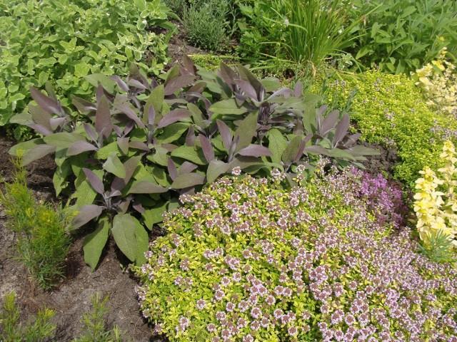 Zioła w ogrodzie sprawią, że nasze potrawy będę smaczniejsze, my zdrowsi, a ogród ładniejszy. Zobacz, jakie rośliny warto uprawiać.