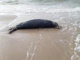 57 martwych fok na plaży w Ustce, Dębinie i Orzechowie