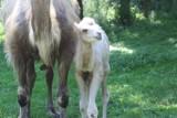 Warszawskie zoo ma nowego mieszkańca. Pracownicy powitali na świecie wielbłąda Mańka. Na razie przebywa z dala od zwiedzających