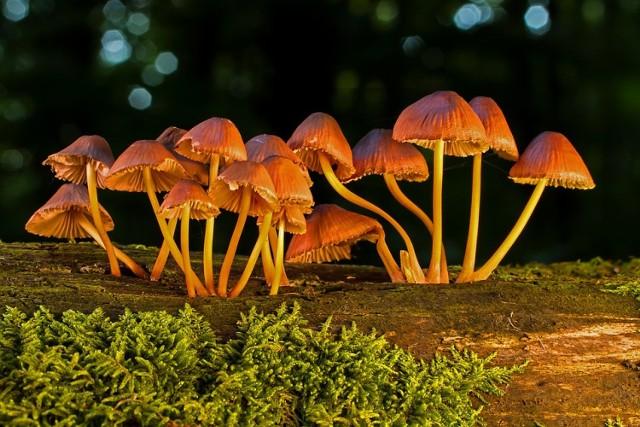 Często nie wiemy, jakie grzyby znajdują się pod ochroną. Przyzwyczajeni do marynowanych pieczarek i suszonych podgrzybków zapominamy często że świat grzybów nie dzieli się tylko na jadalne i trujące. W Polsce występuje ponad 50 gatunków grzybów chronionych. Ich zerwanie, bez względu na to czy rozmyślne czy przypadkowe, może nas kosztować nawet 5 tysięcy złotych grzywny.