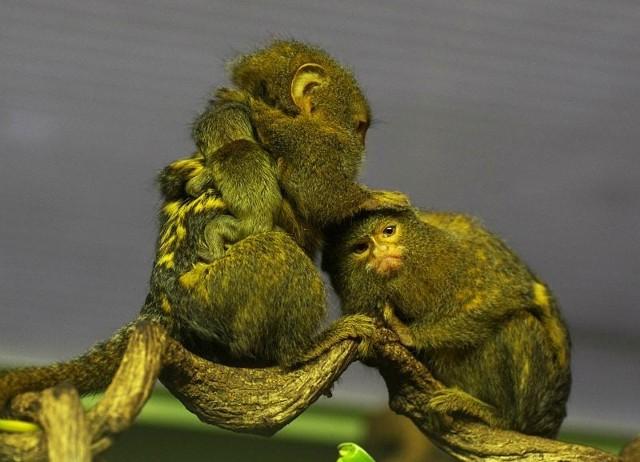 Pigmejki - samiec nosi swoje dziecko na plecach i jednocześnie iska samicę. Pracowity mężczyzna, prawda?