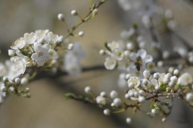 Kalendarz pylenia drzew: informator dla alergików