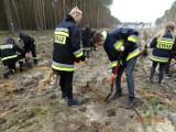 Posadzili 2000 drzew na 100-lecie Ochotniczych Straży Pożarnych ZDJĘCIA
