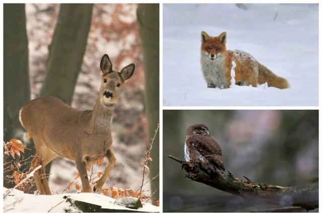 W sądeckich lasach można spotkać zarówno większe ssaki, jak i przedstawicieli królestwa ptaków