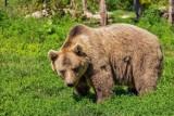 Spotkanie z niedźwiedziem. TPN przypomina zasady bezpieczeństwa