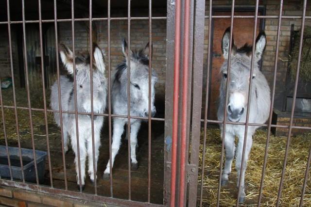 Zoo w Poznaniu: Oświadczenie w sprawie rozdzielenia osiołków