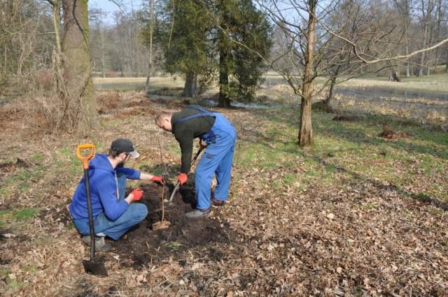 Wyjątkowe chińskie drzewo zostało posadzone w parku w Gołuchowie
