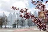 Tak wygląda wiosna w Szczecinie! Przyszła pora na magnolie i żonkile. Zachwycające ZDJĘCIA
