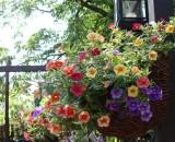 Kwiaty balkonowe długo kwitnące