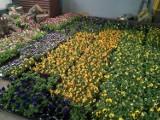 Wiosennie na rynku w Mikołowie. Będzie pięknie ZDJĘCIA