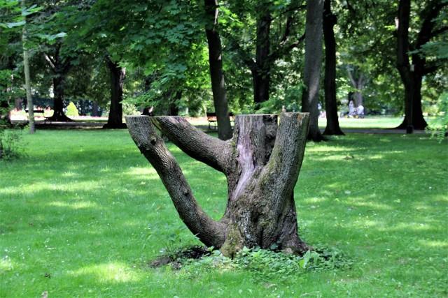 Jedno z drzew w zamojskim Parku Miejskim. Tutaj czasami zapalane są znicze