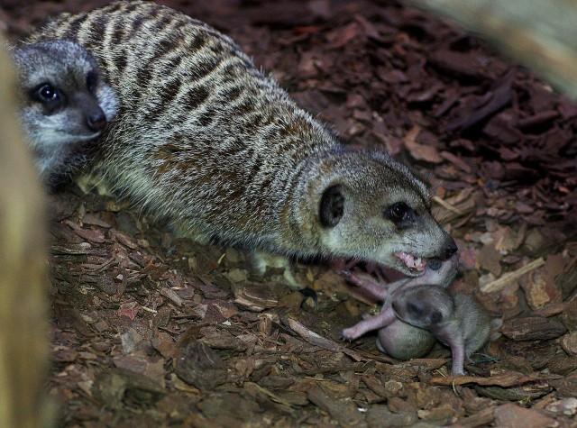 W niedzielę w zamojskim zoo przyszły na świat dwie małe surykatki