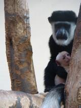 Małpa gereza abisyńska urodziła się w chorzowskim zoo [ZDJĘCIA]