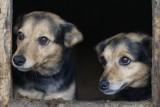 Chełmskie schronisko dla zwierząt jest przepełnione - zobacz zdjęcia piesków do adopcji