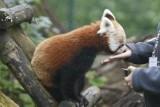 Dzień pandy małej i urodziny zoo [ZDJĘCIA]