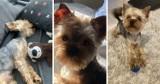 Kosakowo: york Charlie wrócił po ponad pięciu miesiącach. Pies zaginął na Osiedlu Morskim. To jednak nie finał sprawy, mówią policjanci