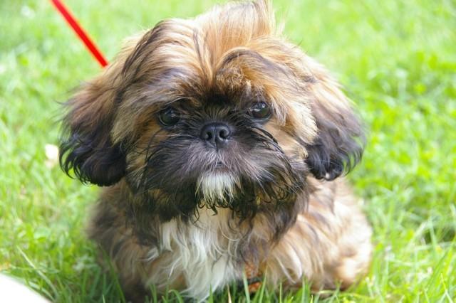 """10. SHIH TZU Rasa, która zakwalifikowana została do psów do towarzystwa. Są psami wesołymi, ich charakter zwykle dostosowuje się do trybu życia domowników. Nazwa rasy pochodzi od języka chińskiego i w wolnym tłumaczeniu oznacza """"lwi pies""""  POLECAMY:"""