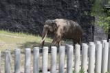 Dziś słoń Aleksander, pierwszy lokator Orientarium, pokaże się łodzianom. Dostanie też tort i prezent z okazji Światowego Dnia Słonia