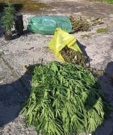 Mieszkaniec Baborowa zatrzymany z marihuaną i krzakami konopi indyjskich