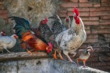 Ptasia grypa. Powiat gdański jest obszarem zagrożonym Nie dotykajcie i nie dokarmiajcie ptaków wodno-lądowych!
