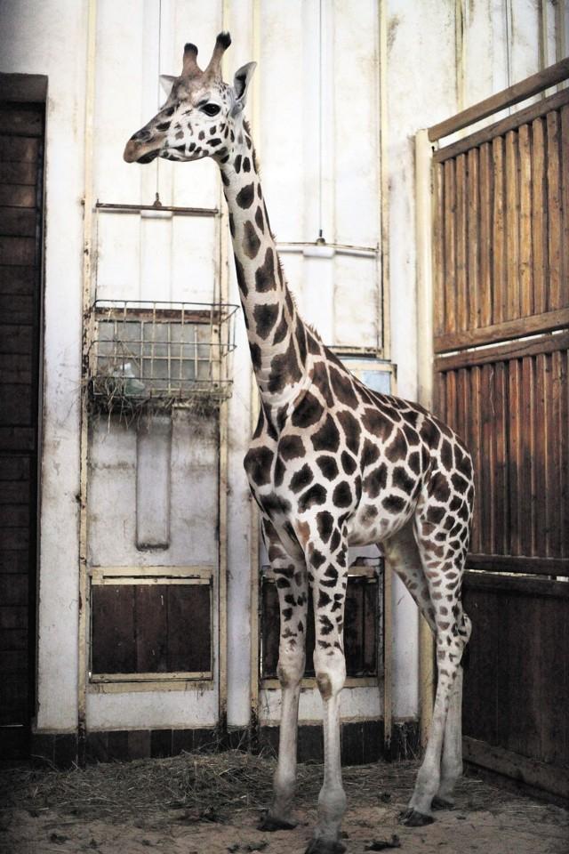 Hana została w czwartek mamą (niestety nie można było sfotografować żyrafiątka).