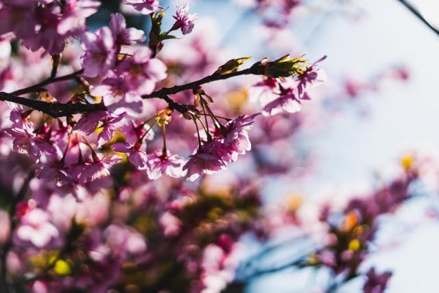 Najpiękniejsze wiosenne kwiaty do ogrodu i ich uprawa. Kompleksowy przewodnik ze zdjęciami. Przejdź do kolejnych slajdów, aby dowiedzieć się, jak pielęgnować kwiaty kwitnące na wiosnę >>