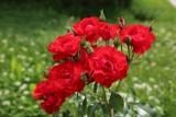 Najczęstsze błędy w uprawie róż. Sprawdź, czego nie robić, żeby róże dobrze rosły