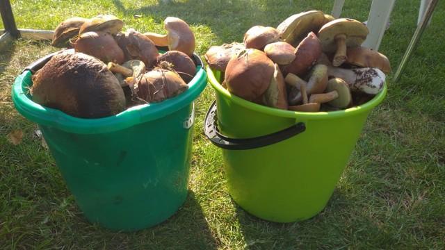 Te dwa wiadra dorodnych grzybów zebrała pani Dorota w przepięknych Borach