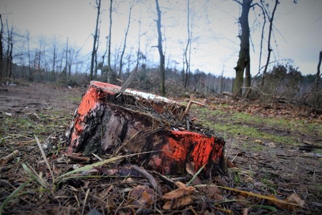 Lasy Państwowe wyjaśniają też, że na taką sytuację miało gradobicie z 2012 r. które uszkodziło pędy i igliwie w koronach drzew. Potem suchy rok 2015 spowodował dalsze osłabienie sosen i w konsekwencji uaktywniły się szkodniki wtórne, np. przypłaszczek granatek.