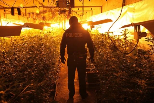 Ogromna plantacja marihuany w dawnym schronie w Poznaniu
