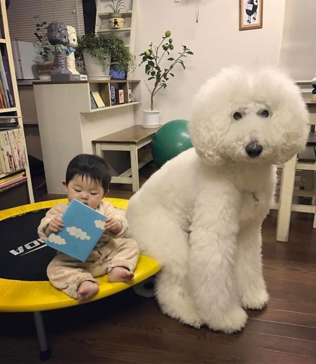 Ta malutka Japonka i jej pies umilą ci dzień! Są nierozłączni.  Na taką przyjaźń czeka każdy z nas. Roczna Japonka Mame i jej gigantyczny pudel razem tworzą najsłodszą parę, jaką można sobie wyobrazić. Kliknij zdjęcie, aby przejść do galerii.