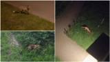 Tarnów. Lisy grasują wśród bloków w Mościcach. Nie boją się ludzi, za to mieszkańcy boją się ich. Rudzielce złapać się nie dają [ZDJĘCIA]