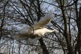 Zima w Parku Wrocławskim, atrakcją fruwające pawie