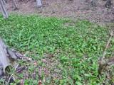"""Roślina, która jest prawdziwą """"bombą"""" witamin rośnie w lasach nieopodal Krempnej [ZDJĘCIA]"""