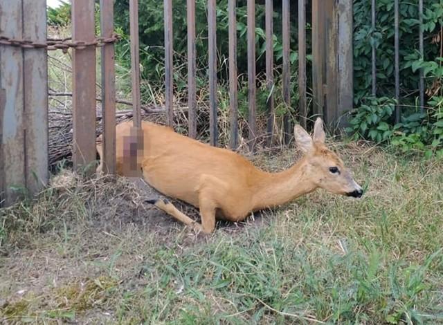 - Zwierzę udało się uwolnić. Sarna po uwolnieniu natychmiast uciekła - relacjonują strażnicy miejscy z Inowrocławia