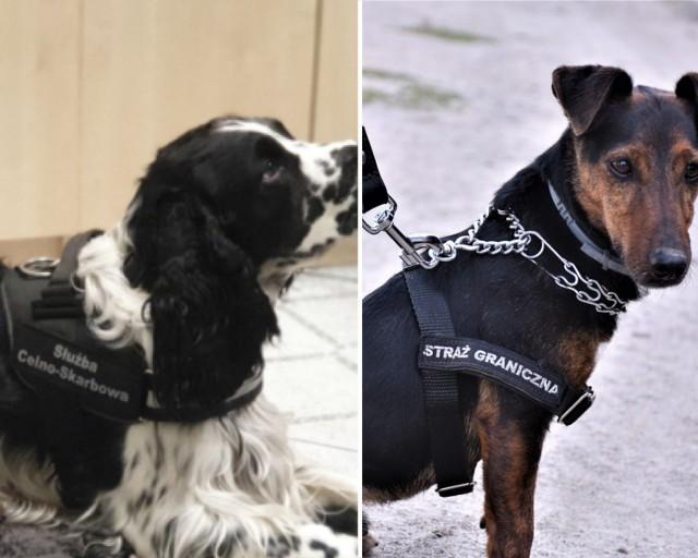 """W Straży Granicznej i Krajowej Administracji Skarbowej w podkarpackim służy kilkadziesiąt psów. Węszą, tropią, służą wsparciem podczas patrolowania """"zielonej"""" granicy państwowej."""
