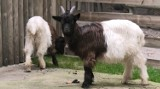 Krakowskie zoo wzbogaciło się o nowy gatunek zwierzaków. To kozy czarnoszyje [WIDEO]