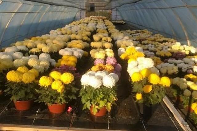 Józef Tyrka ze Świebodzina nie sprzedał ok. 1800 chryzantem. Kwiaty stoją w tunelach