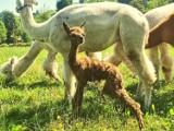 W ogrodach w Muszynie na świat przyszedł Karmelek. Mała alpaka podbija Internet! [ZDJĘCIA]