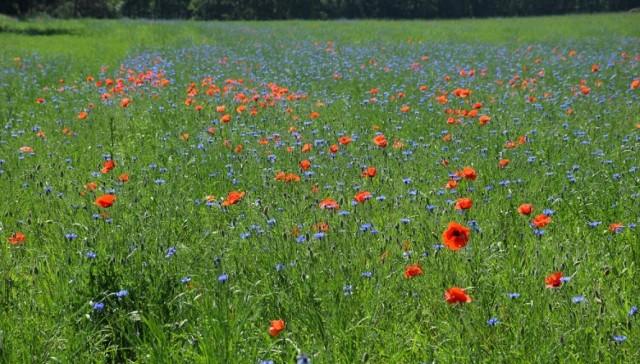 Takie łąki można zobaczyć (ale niech nam do głowy przypadkiem nie wpada, by je deptać czy niszczyć) w gminie Zabór. Zaledwie kilkanaście kilometrów od Zielonej Góry lato jest w rozkwicie. Wśród zieleni widać chabry i maki.    Wideo: Piękny park w Zielonej Górze Kiełpinie: