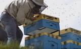 Do Karolinki w Opolu wprowadziły się pszczoły! Pasiekę tworzą cztery ule wielkopolskie i blisko 200 tysięcy robotnic