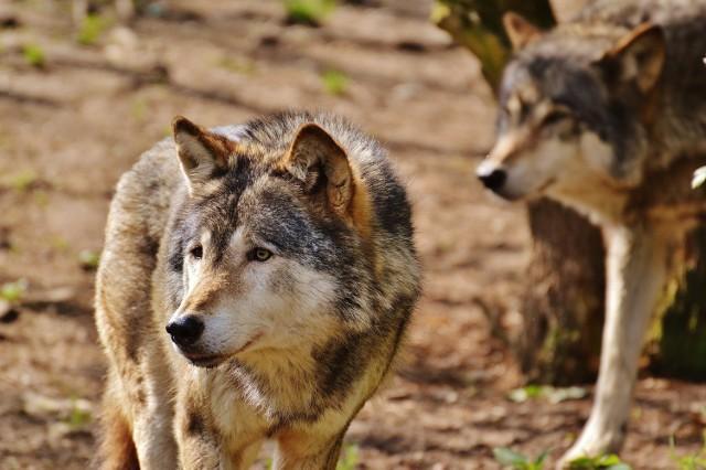 O tej porze roku wilcze rodziny wychowują młode i potrzebują pożywienia, dlatego może dochodzić do ataków na bydło czy inne zwierzęta hodowlane- mówi Paweł Twaróg z Nadleśnictwa Limanowa