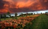 Świeto liliowców w Wojsławickim Arboretum