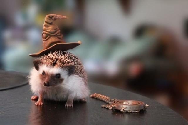 Jest coś bardziej uroczego niż jeże? tak, jeże w kapeluszach. Oto cała galeria [ZDJĘCIA]