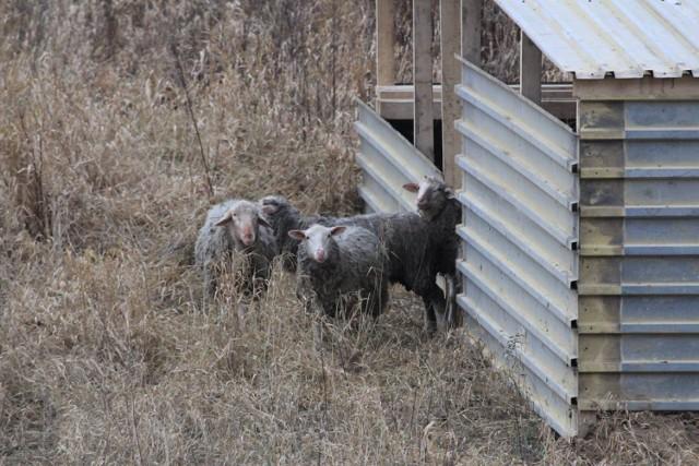 Nad Wisłą pojawiły się owce i kozy. Będą tam ciężko pracować