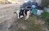 Właściciel krowę Balbinkę skazał na śmierć. Zagłodzona i połamana leżała obok sterty śmieci. OTOZ Animals Zielona Góra prosi o pomoc!