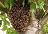 Rój pszczół pod UGiM Goleniów. Trzeba było wzywać pomoc
